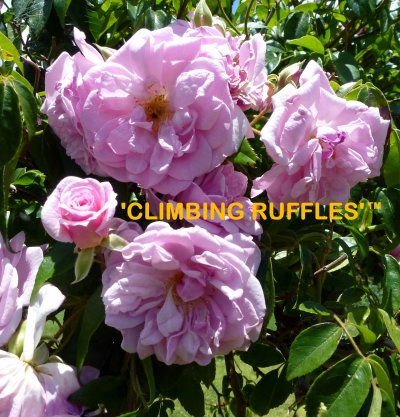 Climbing roses it is thornless repeat flowers in flushes every 7 weeks has large heads of prettiest lavendar pink flowers and very strong perfume everything you want mightylinksfo